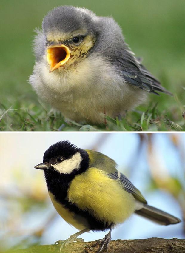 Фото №20 - 30 красивых птиц, которые были уродливыми птенцами (галерея)