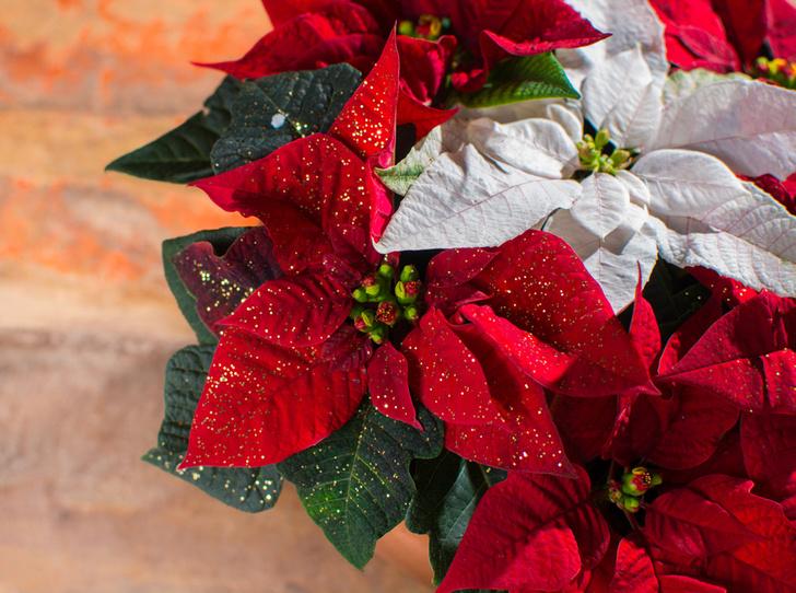Фото №3 - 5 растений, которые заменят новогоднюю елку