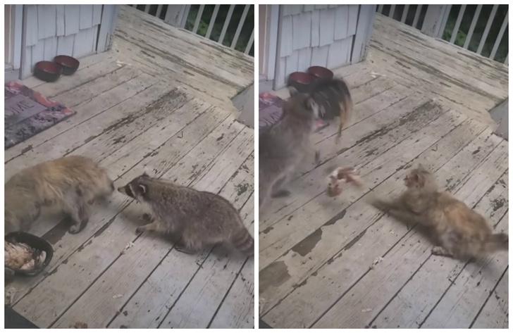 Фото №1 - Енот подкрался к коту, когда тот мирно обедал, и стащил у него миску (видео)