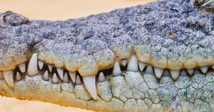Фото №5 - 5 трогательных фактов про крокодилов