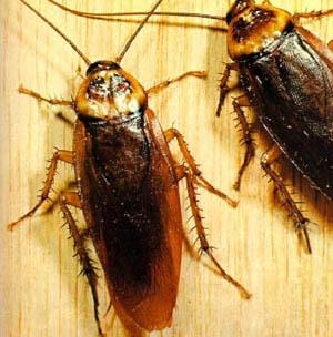 Фото №1 - Японцы заморозят тараканов