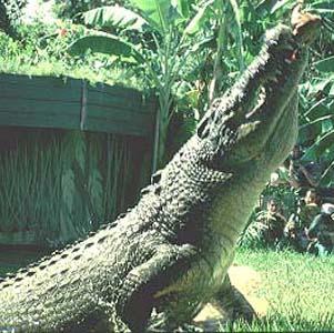 Фото №1 - На крокодилов открывают охоту