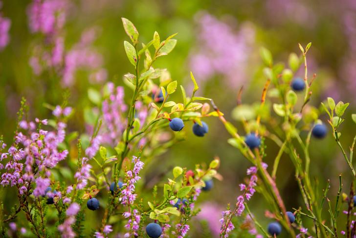 Фото №9 - Лесные и болотные самоцветы: северные ягоды во всей красе