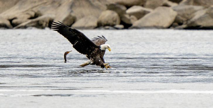 Фото №1 - Ученые рассказали о численности белоголовых орланов