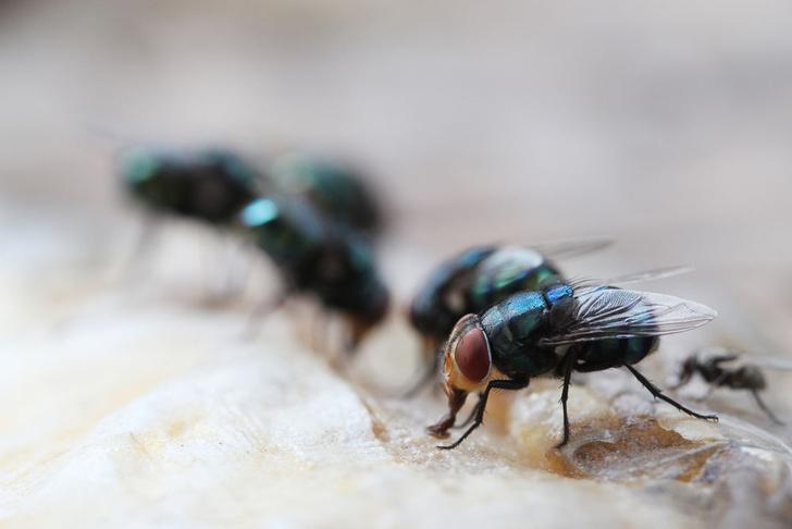 Фото №1 - Ученые выявили неожиданную опасность от мух