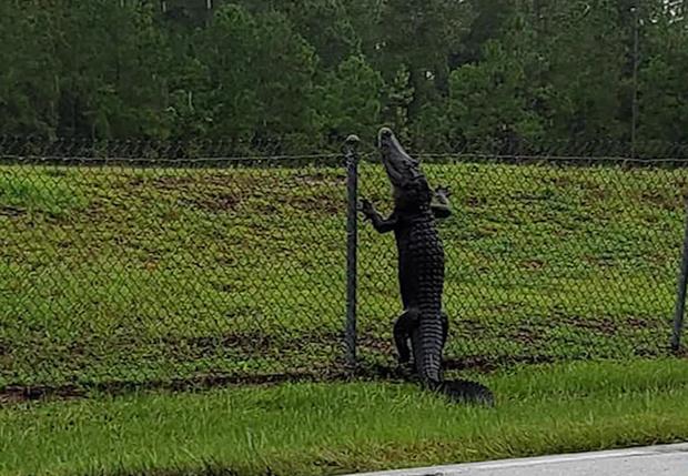Фото №1 - Во Флориде здоровый аллигатор проник на военно-морскую базу, перемахнув через забор (видео)