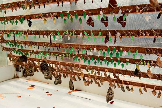 Фото №8 - Полет фантазии: репортаж с фермы бабочек в Малайзии
