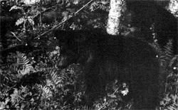 Фото №3 - Среди медведей