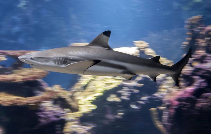 Фото №1 - Акулы покидают коралловые рифы