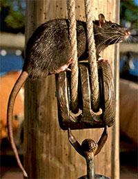 Фото №1 - Куда бегут крысы с тонущего корабля?