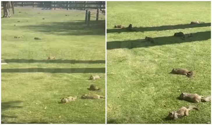 Фото №1 - Сотни белок захватили общественный парк в Калифорнии (видео)