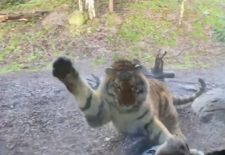 Фото №1 - В Дублинском зоопарке тигр напал на ребенка, но забыл про защитное стекло (видео)
