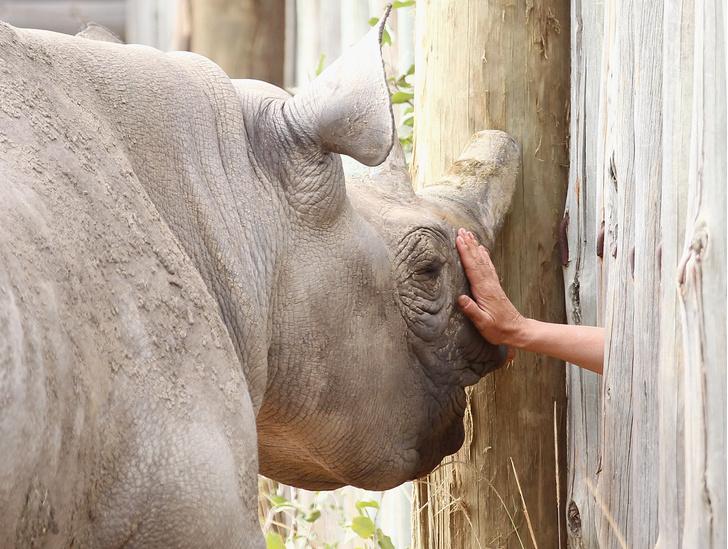 Фото №1 - Ученые «воскресят» северного белого носорога при помощи ЭКО