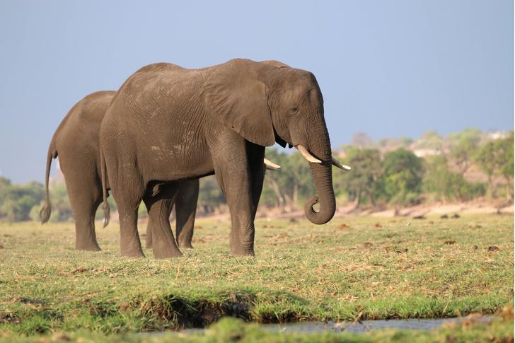 Фото №1 - В Ботсване зафиксирована массовая гибель слонов