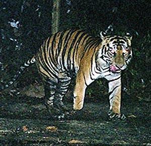Фото №1 - В Индонезии обнаружен трехлапый тигр