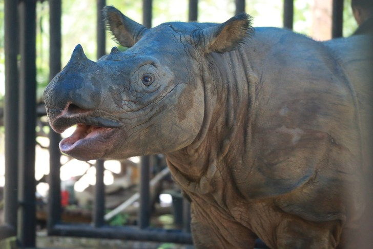 Фото №1 - В Малайзии умер последний суматранский носорог