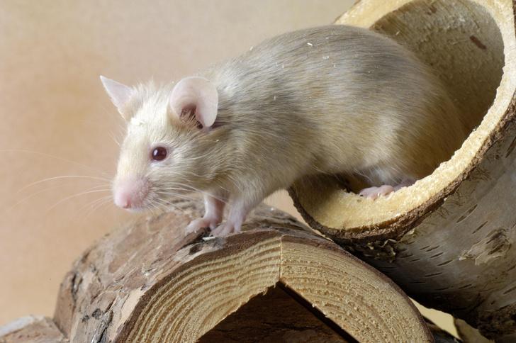 Фото №1 - Ученым удалось вернуть молодость мышам