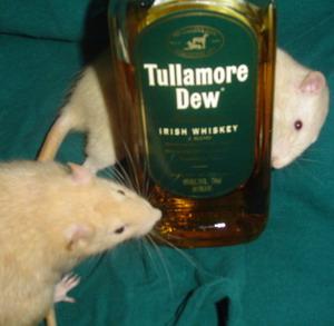 Фото №1 - Индийская полиция страдает от пьяных крыс