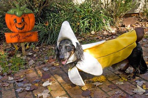 Фото №17 - Фотоподборка недели: собаки, которые уже готовы к Хэллоуину