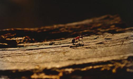"""Фото №1 - Российские """"домашние"""" муравьи не так страшны, как американские. Роспотребнадзор предупредил о завозе насекомых, вызывающих дерматиты"""