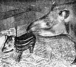 Фото №1 - Кроткий кузен носорога