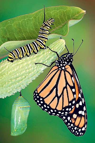 Фото №1 - Все ли гусеницы превращаются в бабочек?
