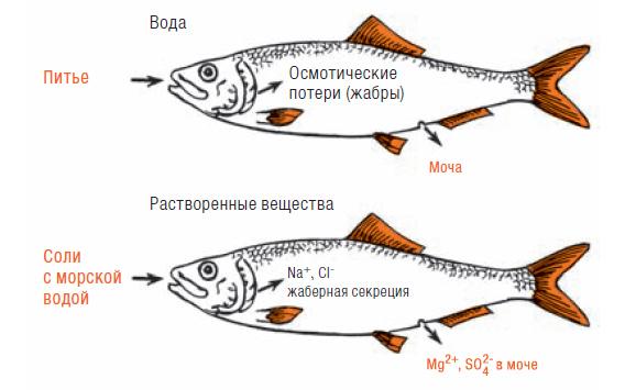 Фото №1 - Почему вода в море соленая, а рыбы в ней несоленые?