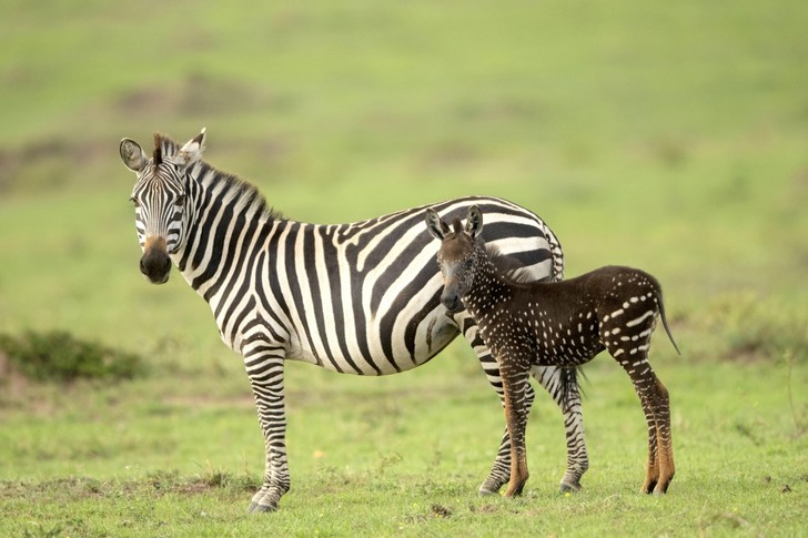 Фото №1 - Необычная зебра