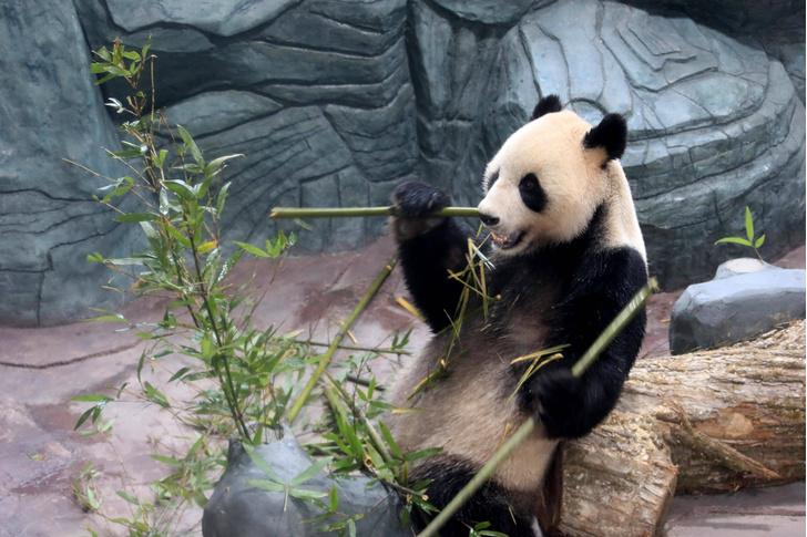 Фото №1 - Когда панды перешли на диету из бамбука