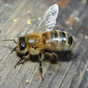 Фото №1 - Пчел губят мобильники