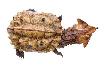 Фото №9 - Тише едешь— дольше будешь: долголетие и другие загадки гигантских черепах