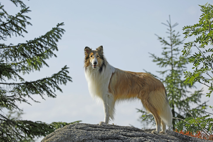 Фото №3 - Лесси: 6 фактов о самой известной собаке в кино