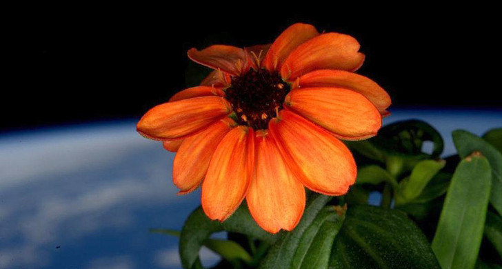 Фото №1 - На МКС впервые в истории распустился цветок