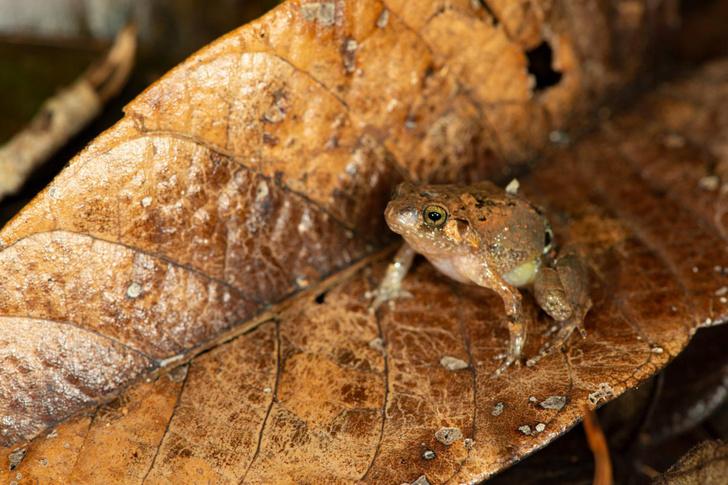 Фото №1 - На Мадагаскаре открыт новый вид лягушек