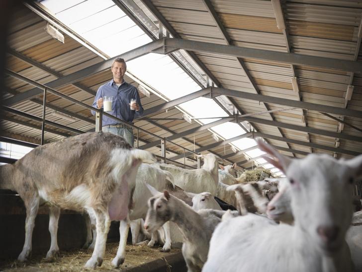 Фото №1 - Ученые создали коз, чье молоко содержит лекарство от рака