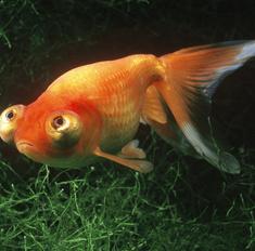 Оранда: содержание, особенности кормления и ухода, правила совместимости с другими рыбами