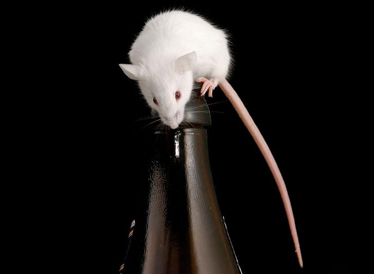 Фото №1 - Мыши-пьяницы, игрушечная диета и другие новые открытия