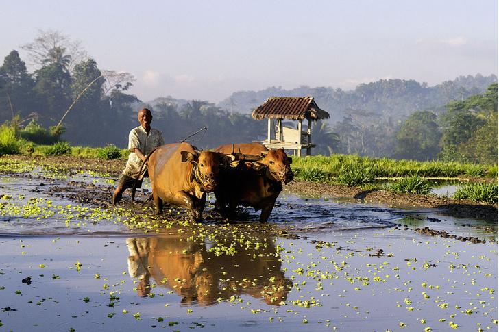 Фото №2 - Буйволы — хранители: как животные стали национальным достоянием Индонезии