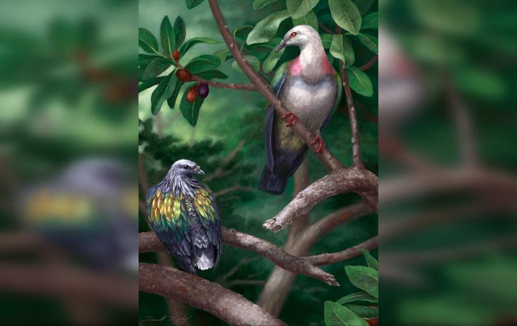 Фото №1 - Ученые нашли останки гигантского голубя
