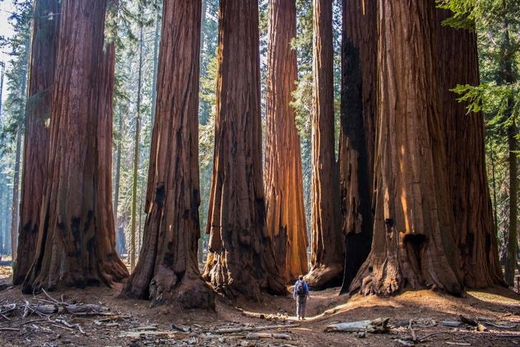 Фото №8 - Генералы среди деревьев: 10 удивительных фактов о гигантских секвойях