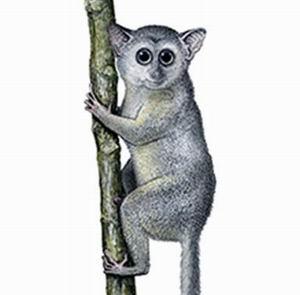 Фото №1 - Приматы пришли в Америку из Сибири