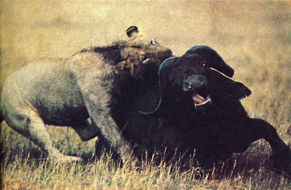 Фото №5 - Возвращение в саванну, или Обыкновенное сафари в Самбуру