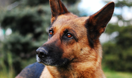 Фото №1 - В России собак начали учить вынюхивать носителей коронавируса