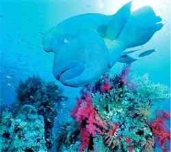 рыба-Наполеон в Красном море