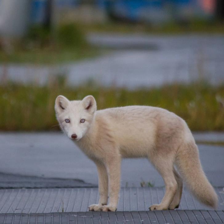 Фото №1 - В Арктике заметили песца с голубыми глазами