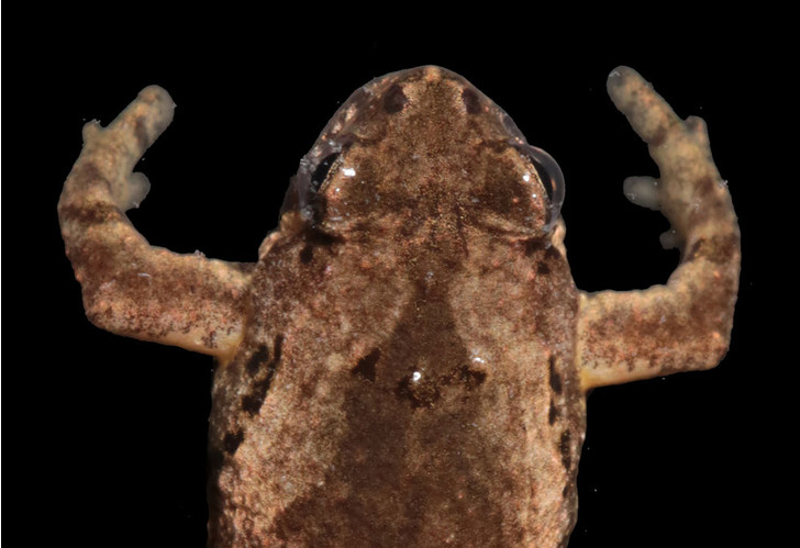 Фото №1 - В Таиланде найдена крошечная лягушка с голосом кузнечика