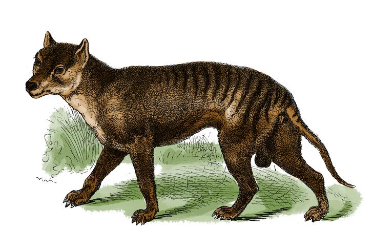 Фото №1 - В Австралии снова заметили «вымершего» сумчатого волка