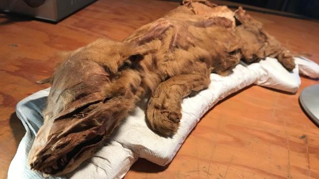 Фото №1 - В Канаде обнаружили мумии животных ледникового периода