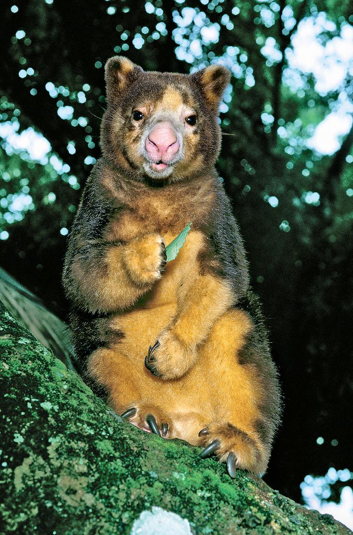 Фото №1 - Древесный кенгуру Мачи