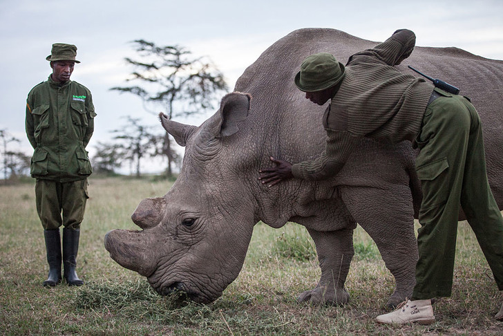 Фото №1 - Усыплен последний в мире самец северного белого носорога